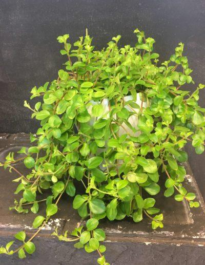 Plante-9
